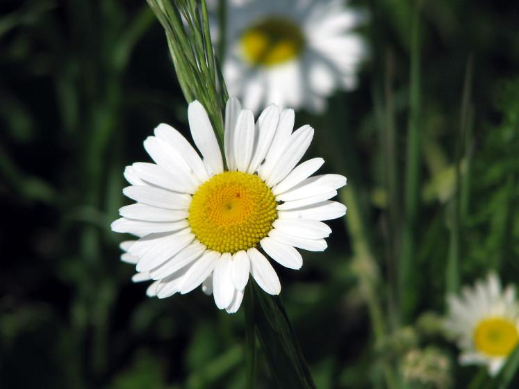World Travel Photos :: Flowers :: Boyd Conservation Area, Vaughan - daisy