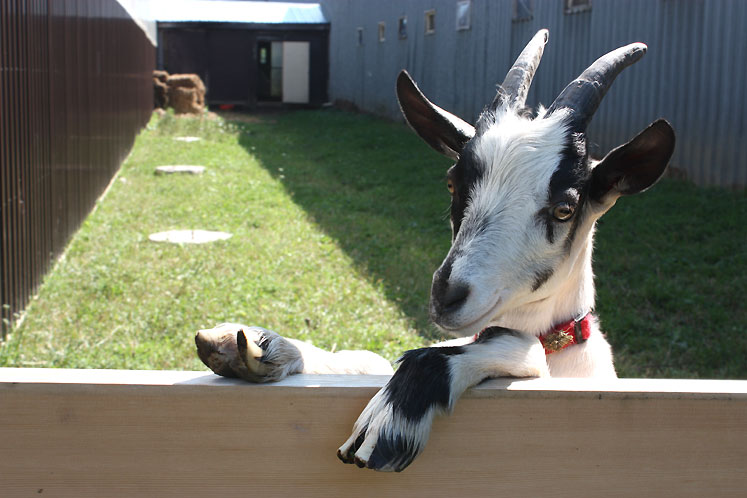 World Travel Photos :: Feel good photos :: Ontario - a merry goat