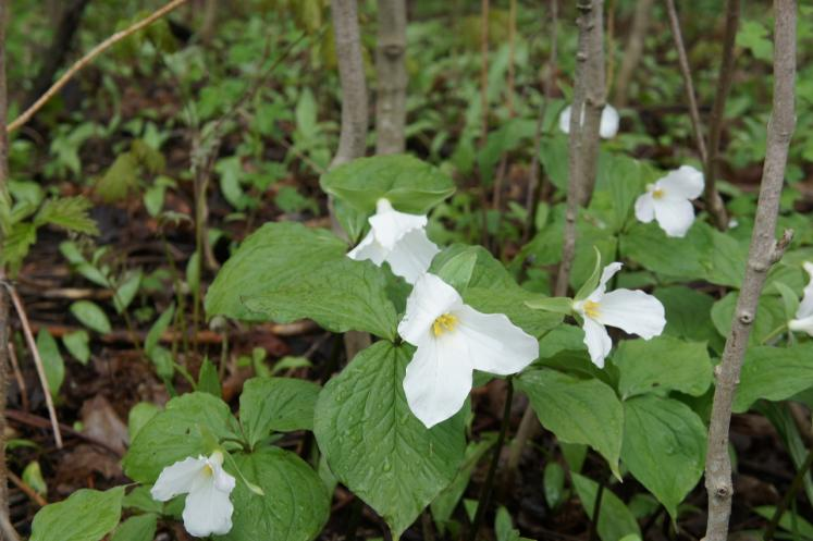 Canada Ontario Photos :: Misc :: Up Close picture of Trilliums in the Woods near Petersburg