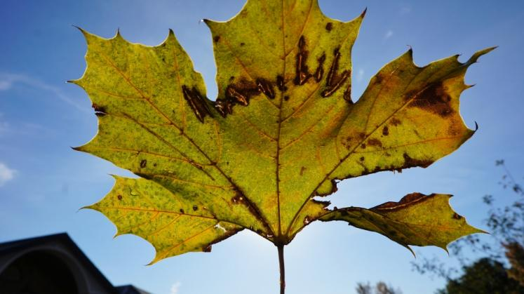 Canada Ontario Photos :: New Hamburg :: Falling leaf New Hamburg