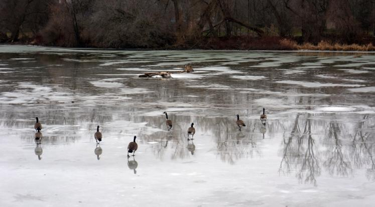 Canada Ontario Photos :: New Hamburg :: Geese on the Nith River New Hamburg