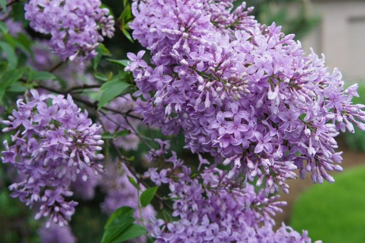 Canada Ontario Photos :: Nature :: Lilac in bloom