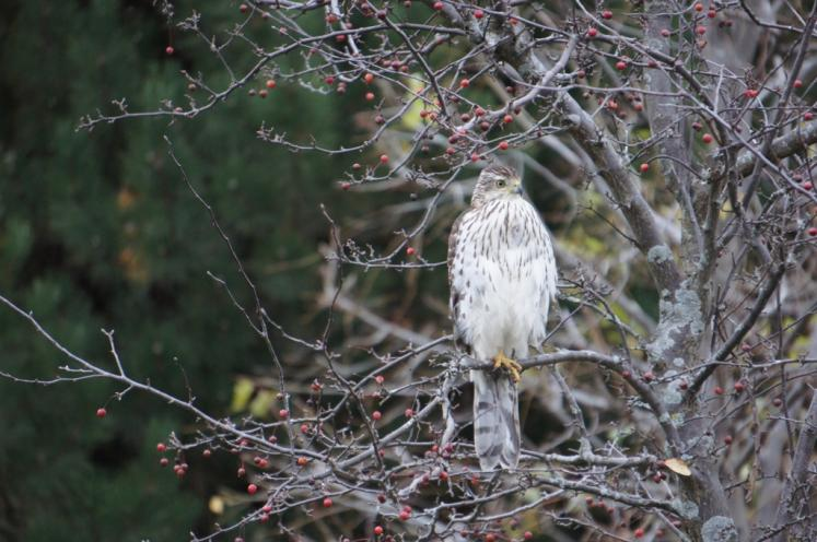 Canada Ontario Photos :: New Hamburg :: Red Tail Hawk in New Hamburg