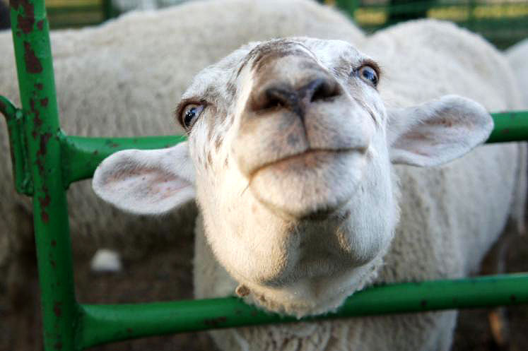 Canada Ontario Photos :: New Hamburg :: Sheep at New Hamburg Fall Fair Petting Zoo