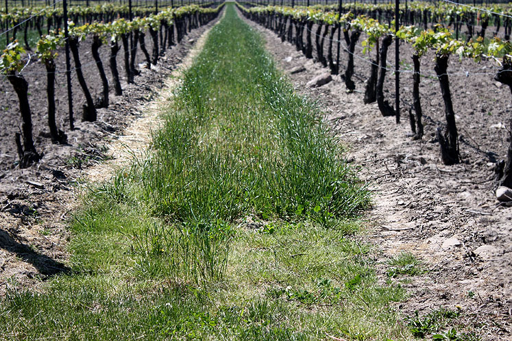 Canada Ontario Photos :: Niagara-on-the-Lake :: Niagara-on the-Lake. Vineyard at Peller Estates