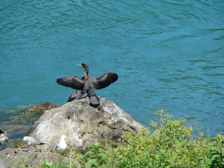 Canada Ontario Photos :: Niagara river :: Cormorants on the Niagara River