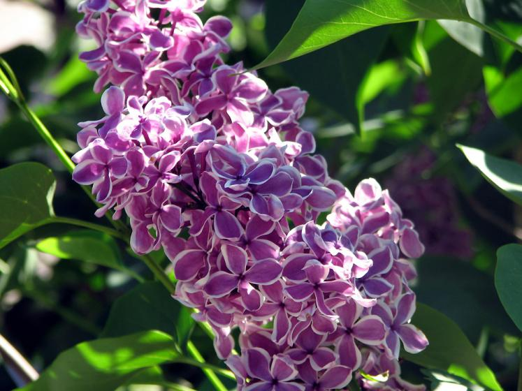 World Travel Photos :: Flowers :: Niagara Falls Lilac Garden
