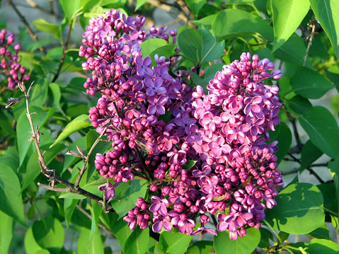 Canada Ontario Photos :: Flowers :: Niagara Falls Region. Blooming Lilac