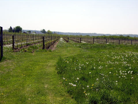Canada Ontario Photos :: City views :: Niagara Falls Region. Grape yard