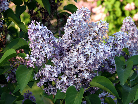 World Travel Photos :: Spring :: Niagara Falls - lilac