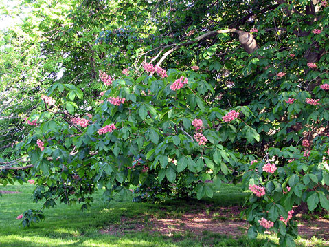 Canada Ontario Photos :: Niagara Falls :: Niagara Falls Region. Blooming tree in Botanical Garden