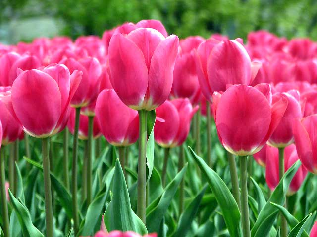 World Travel Photos :: Spring :: Ottawa. Tulips festival