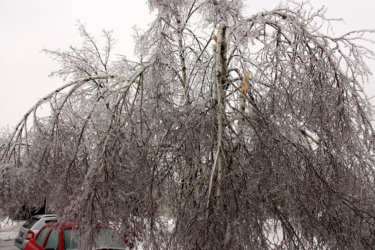 Canada Ontario Photos :: Winter :: Ice storm in Richmond Hill - a birch tree with broken branches