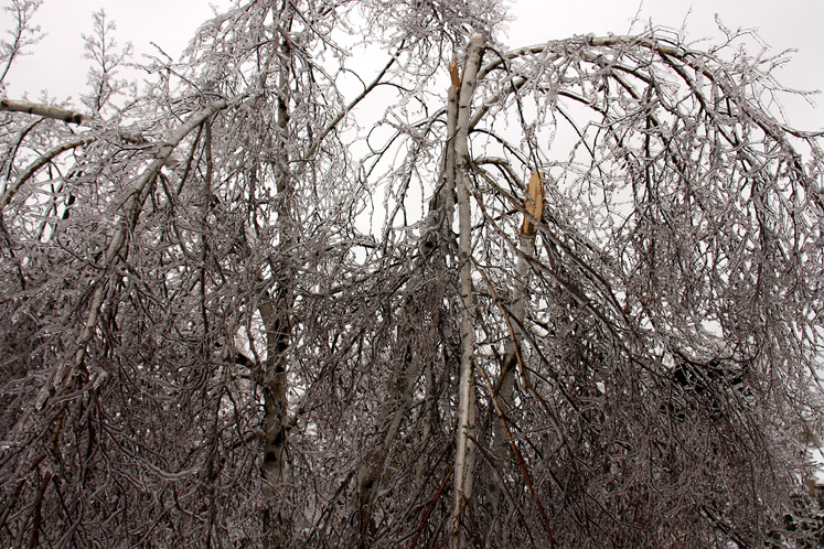 Canada Ontario Photos :: Richmond Hill :: Ice storm in Richmond Hill - a broken birch tree