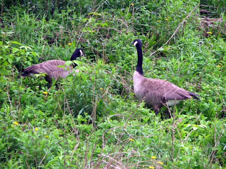 Canada Ontario Photos :: Richmond Hill :: Richmond Hill. Mill Pond Park. Two merry geese