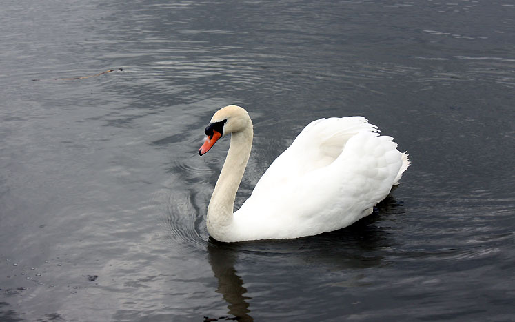 World Travel Photos :: Animals :: Richmond Hill. Mill Pond - a swan