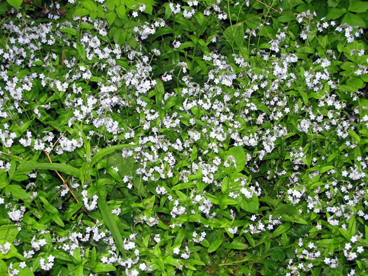 Canada Ontario Photos :: Richmond Hill :: Richmond Hill. Mill Pond Park - forget-me-not