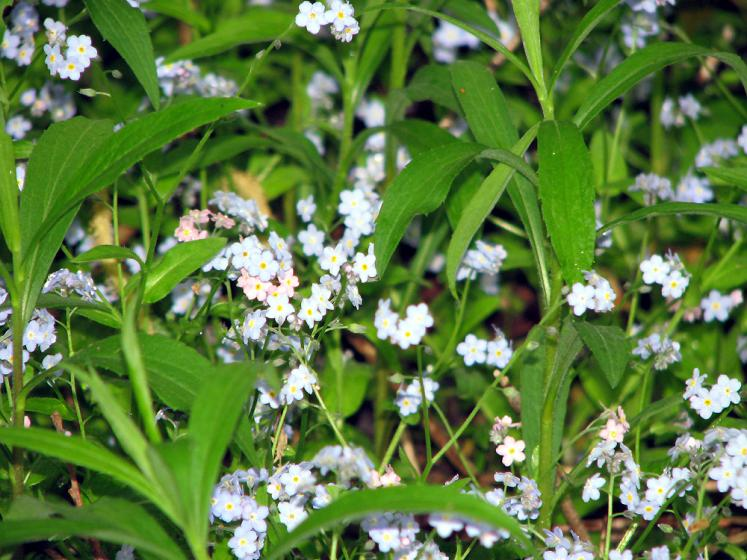 Canada Ontario Photos :: Richmond Hill :: Richmond Hill. Mill Pond park - forget-me-nots