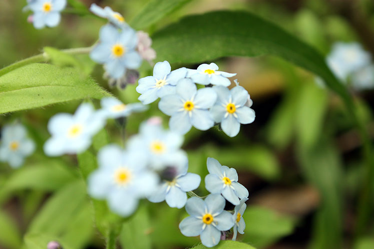 World Travel Photos :: Colors - Bleu :: Richmond Hill - forget-me-nots