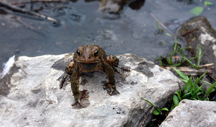 Canada Ontario Photos :: Richmond Hill :: Richmond Hill. A frog