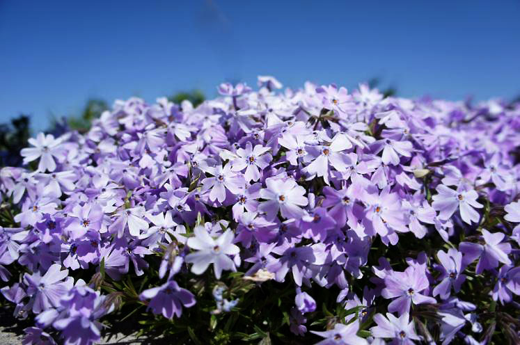 World Travel Photos :: Colors - Violet :: Creeping Phlox  found in Shakespeare Gardens Stratford