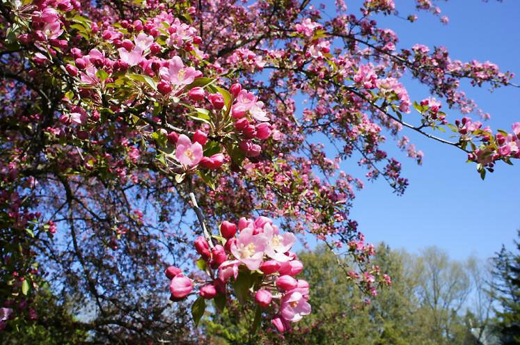 World Travel Photos :: Spring :: Flowering Crab Tree found in Shakespeare Gardens Stratford