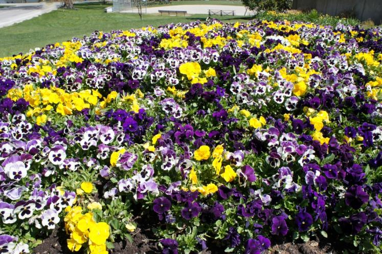Canada Ontario Photos :: 194Lynn :: Pansies found in Shakespeare Festival Gardens Stratford