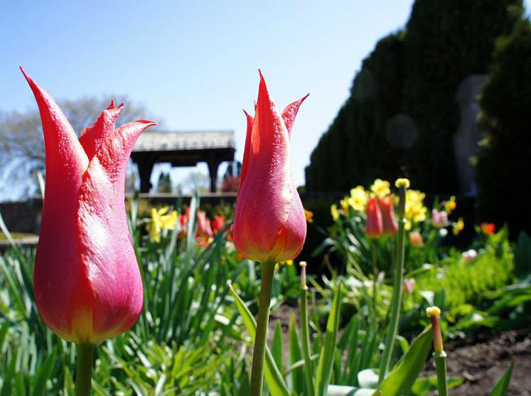 Canada Ontario Photos :: 194Lynn :: Red Tulips found in Shakespeare Gardens Stratford