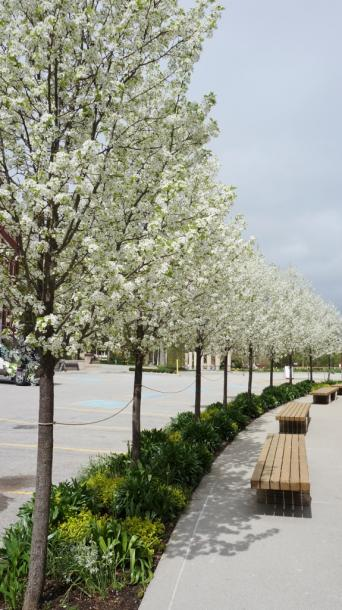 Canada Ontario Photos :: Stratford :: Row of Flowering Pear Trees Stratford