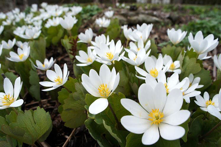 Canada Ontario Photos :: Nature :: Ontario. Anemone Growing in Shakespearian Gardens Stratford