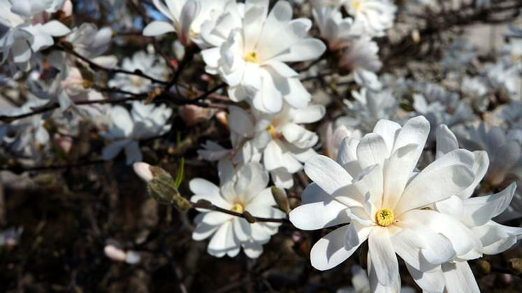 World Travel Photos :: Colors - Blanc :: Star Magnolia Tree in Stratford