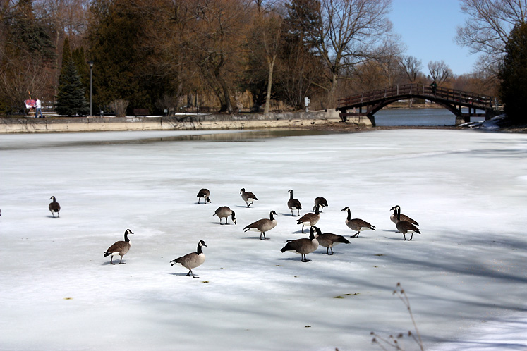 Canada Ontario Photos :: Stratford :: Stratford - Canadian geese ona thin spring ice