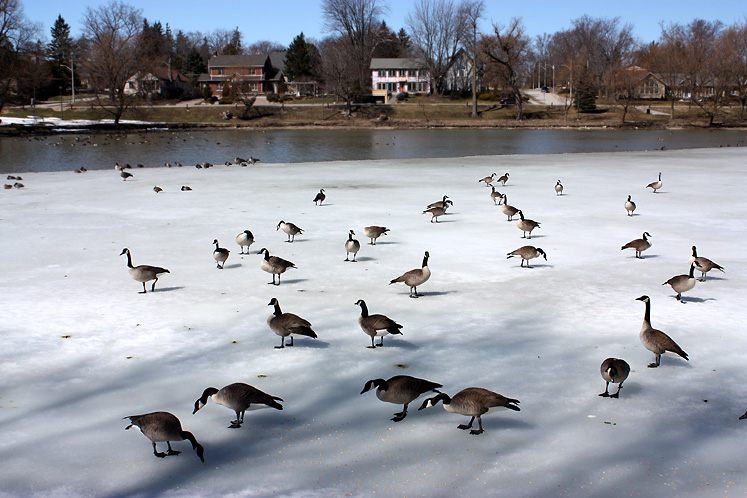 Canada Ontario Photos :: Stratford :: Stratford. Geese on the ice