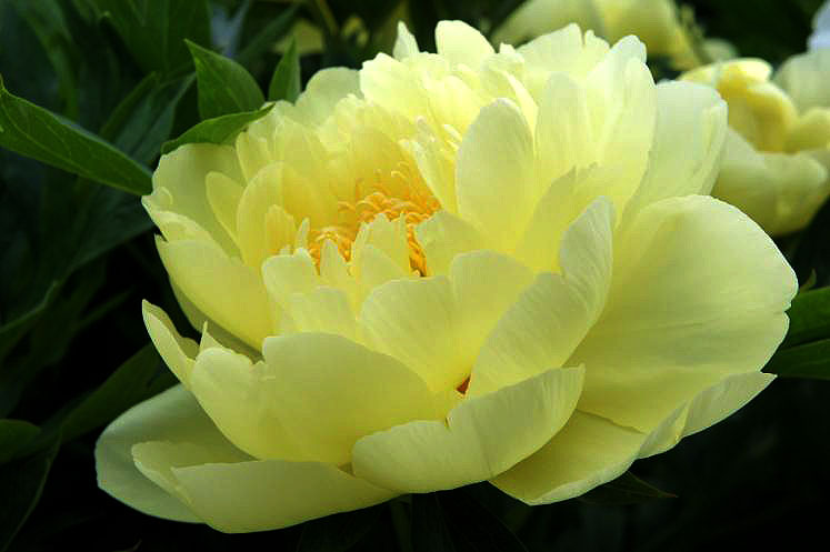 World Travel Photos :: Flowers :: Ontario. Yellow Peony Shakespeare Gardens Stratford
