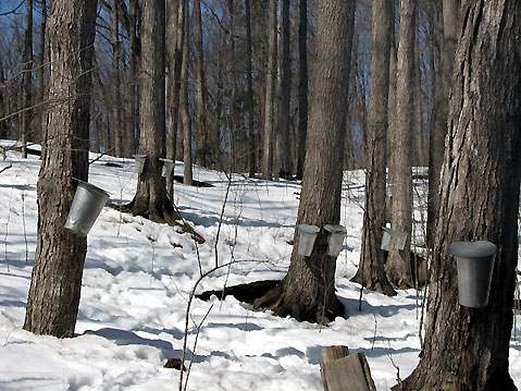 Canada Ontario Photos :: Spring :: Ontario. Early spring - maple sap collecting