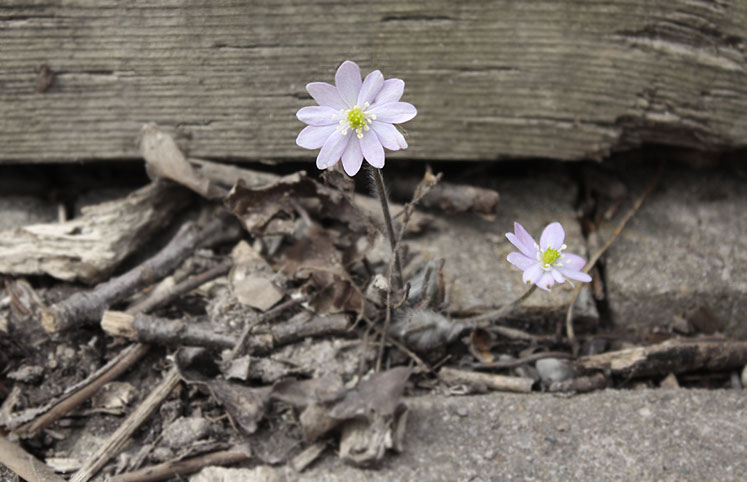 World Travel Photos :: Flowers :: Ontario. Kortright Conservation Area - early spring, first flowers