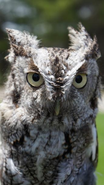 Canada Ontario Photos :: Waterloo :: Eastern Screech Owl in Laurel Creek Conservation Area Waterloo