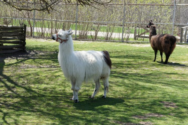Canada Ontario Photos :: Waterloo :: Lamas at Waterloo Park, Waterloo
