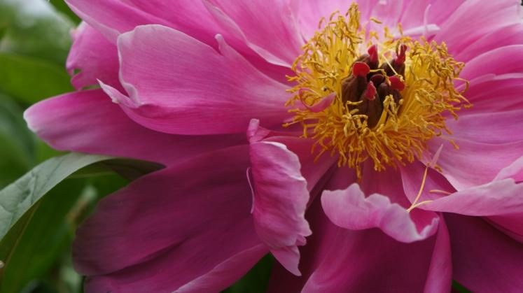 Canada Ontario Photos :: Waterloo :: Peony, Waterloo Park
